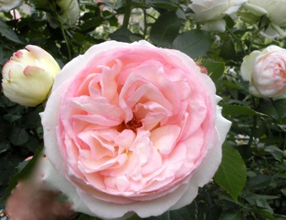 PR-FLOWER-8