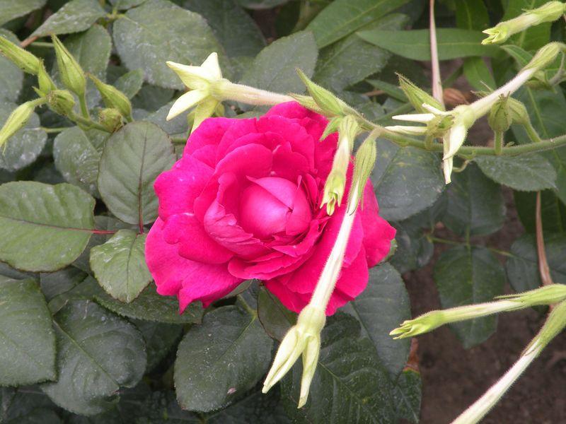 PR-FLOWER-7