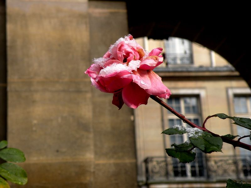 Snow covered rose at Carnavalet