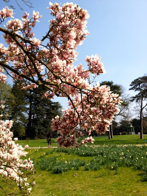 i prefer magnolia trees in bagatelle gardens
