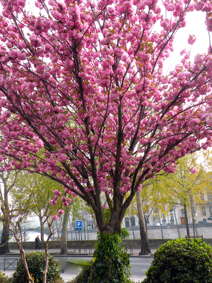 CHERRY BLOSSOMS-3
