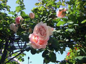 Roses7